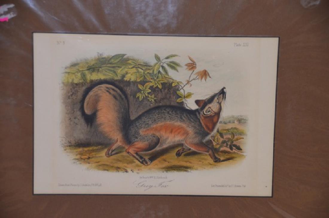 Audubon Aquatint Engraving Grey Fox