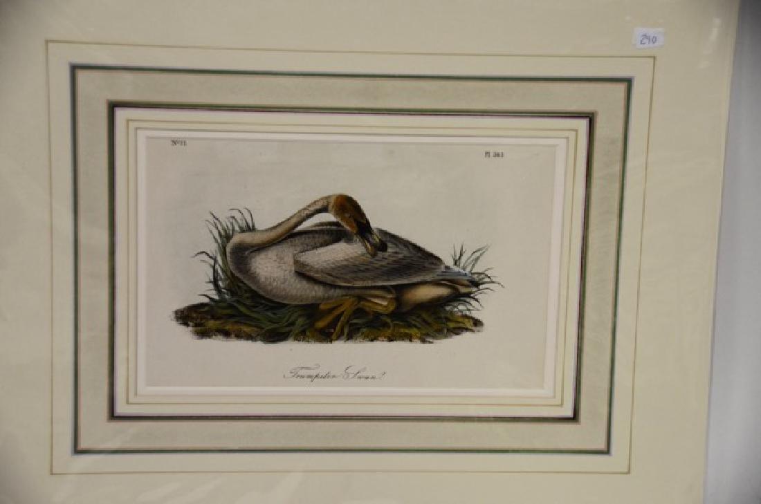 Audubon Aquatint Engraving Trumpeter Swan