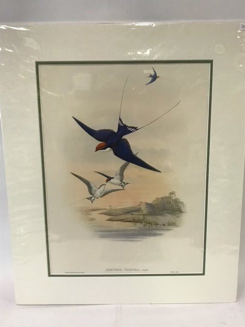 J. Gould H. C. Richter, Wire-tailed Swallow
