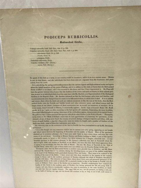 J. Gould & H. C. Richter. Red-necked Grehe - 2