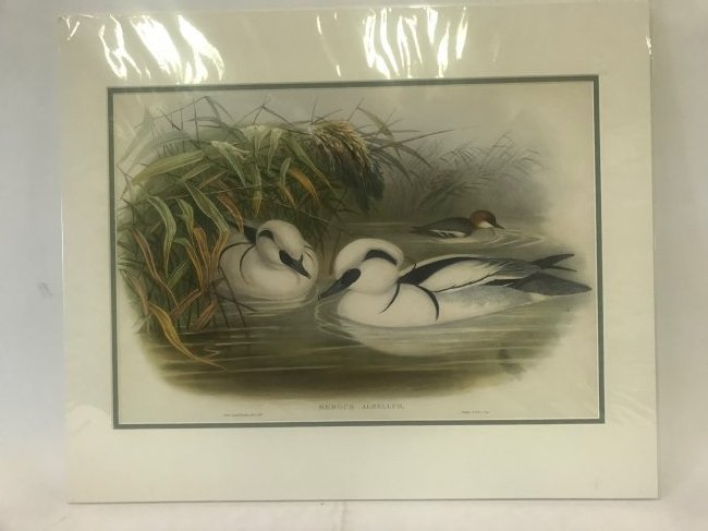 J.Gould H.C.Richter. Smew, or Nun