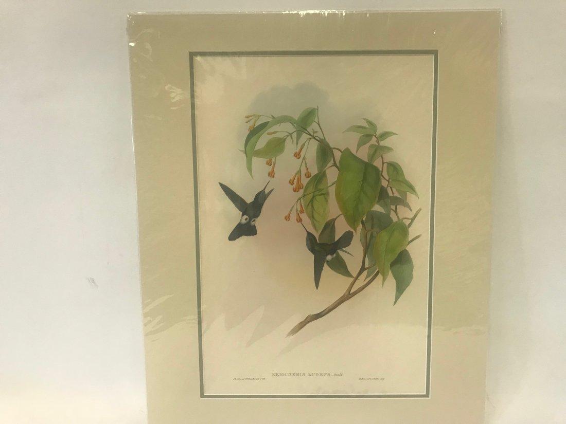 J.Gould H.C.Richter. Hoary Puff-leg Lithograph