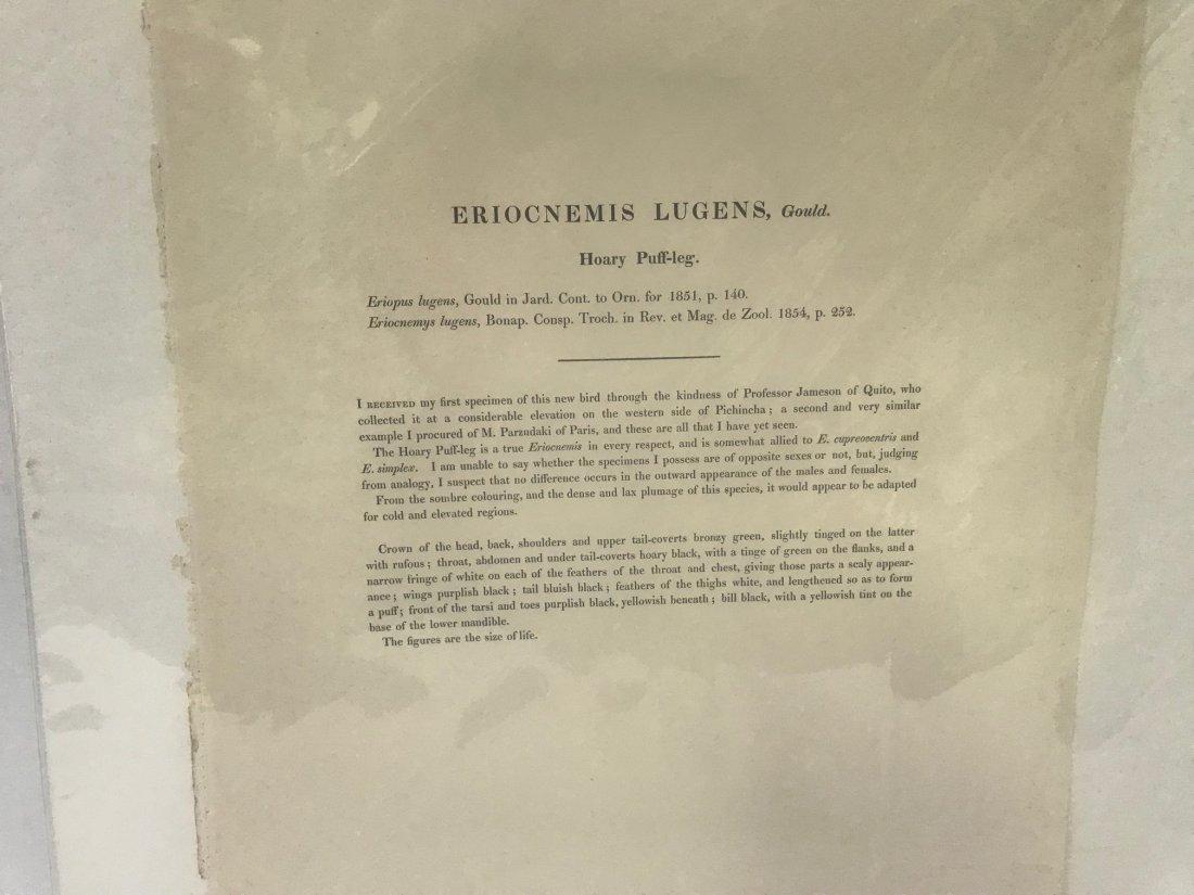 J.Gould H.C.Richter. Hoary Puff-leg Lithograph - 2