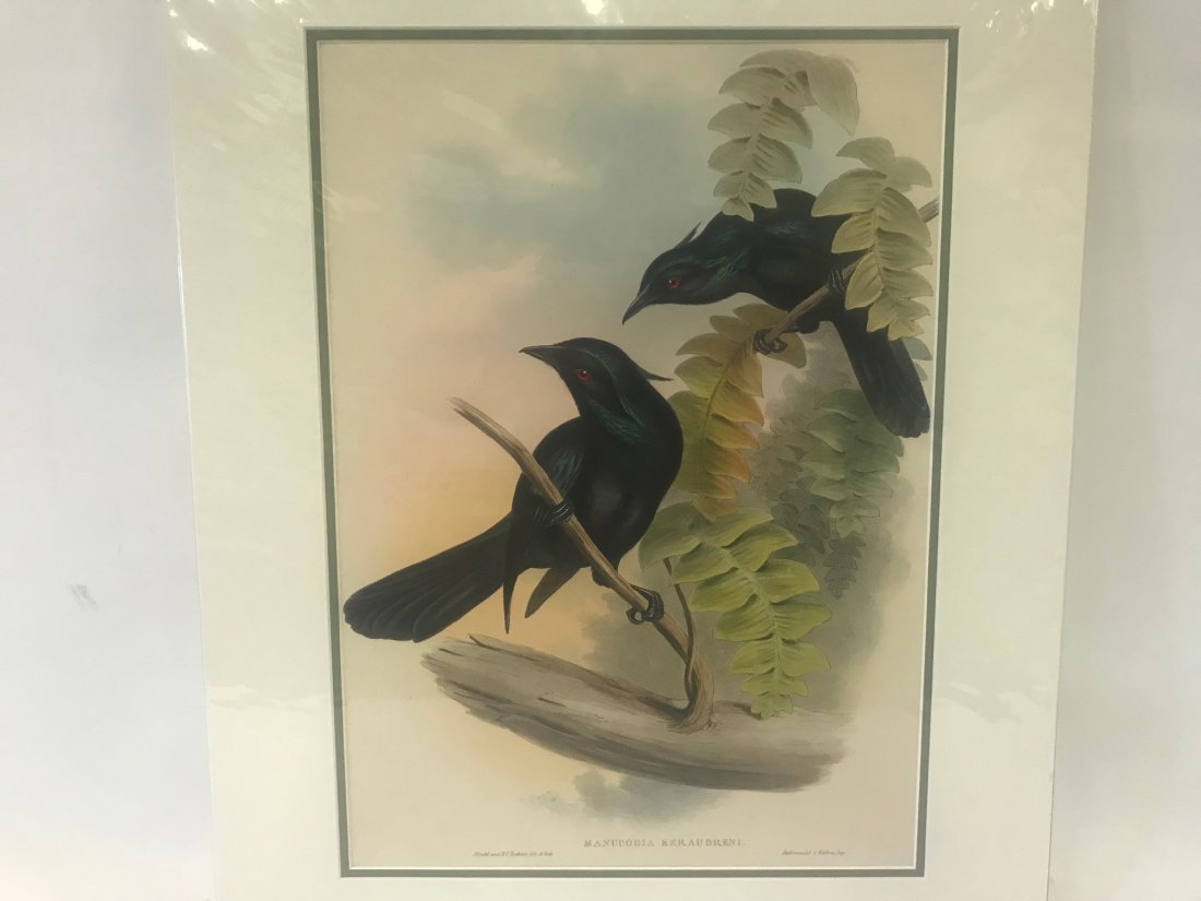 J.Gould H.C.Richter Keraudren's Crow-Shrike