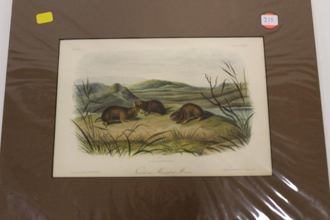 Audubon First Edition Aquatint Northern Meadow Mouse