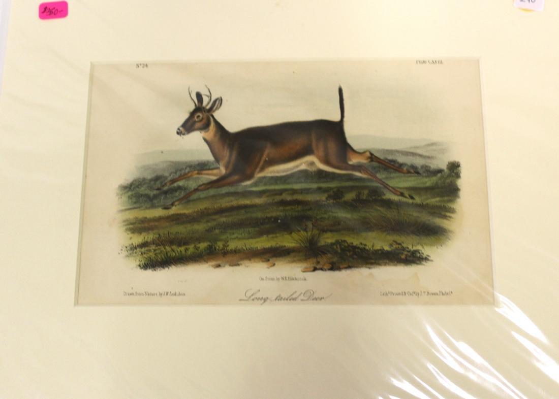 Audubon First Edition Aquatint Long-Tailed Deer
