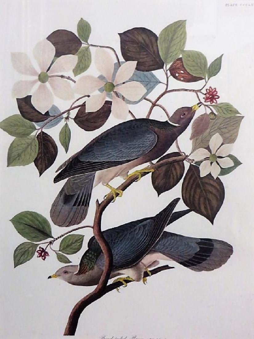Audubon Large Folio First Edition Band-Tailed Pigeon - 2