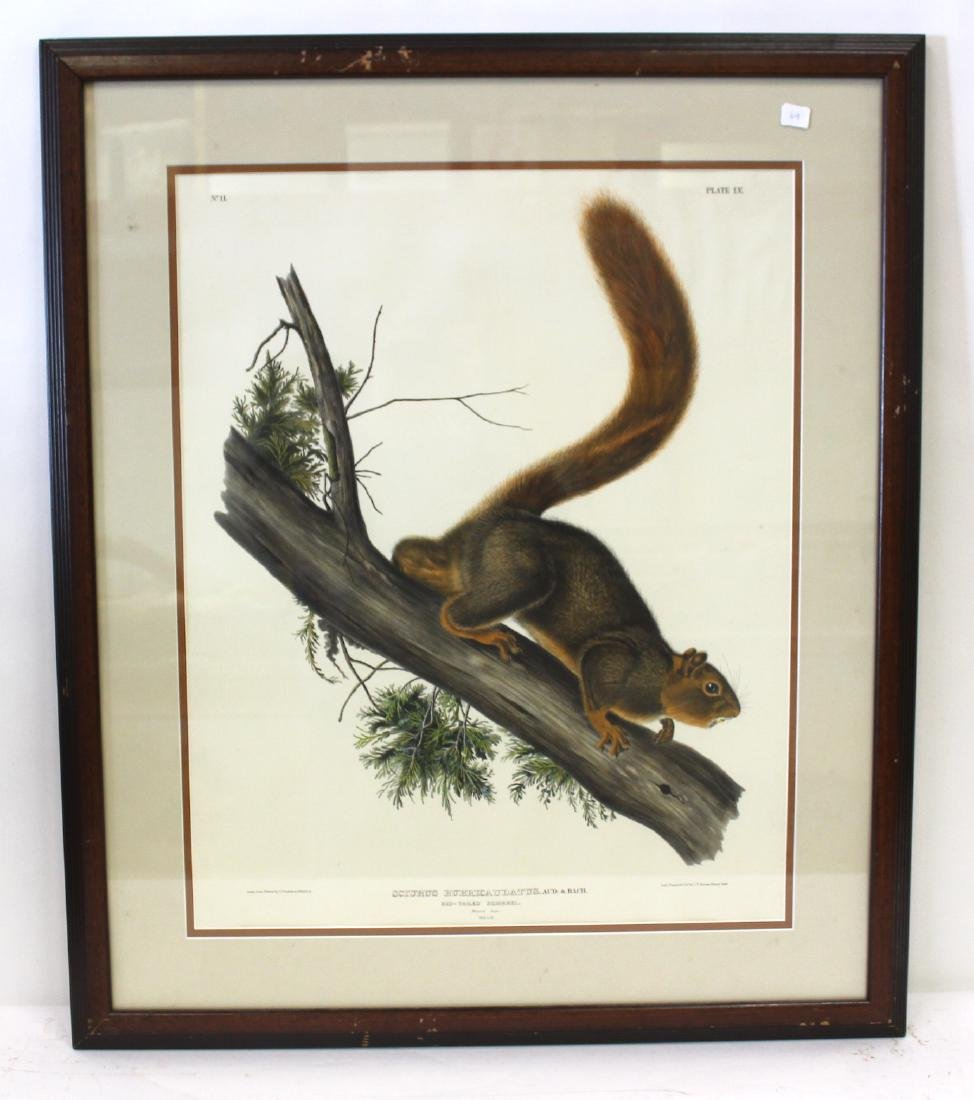 J.J Audubon First ed. Aquatint Red-tailed Squirrel