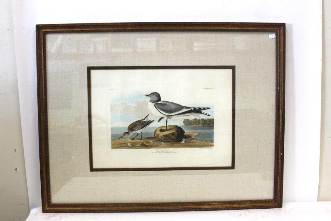 J.J Audubon First ed. Aquatint Fork-Tailed Gull