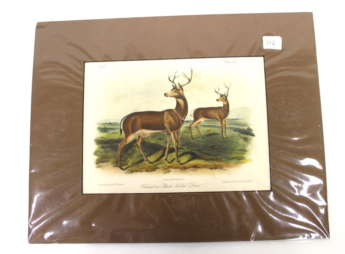 J.J Audubon  Aquatint Columbian Black-Tailed Deer