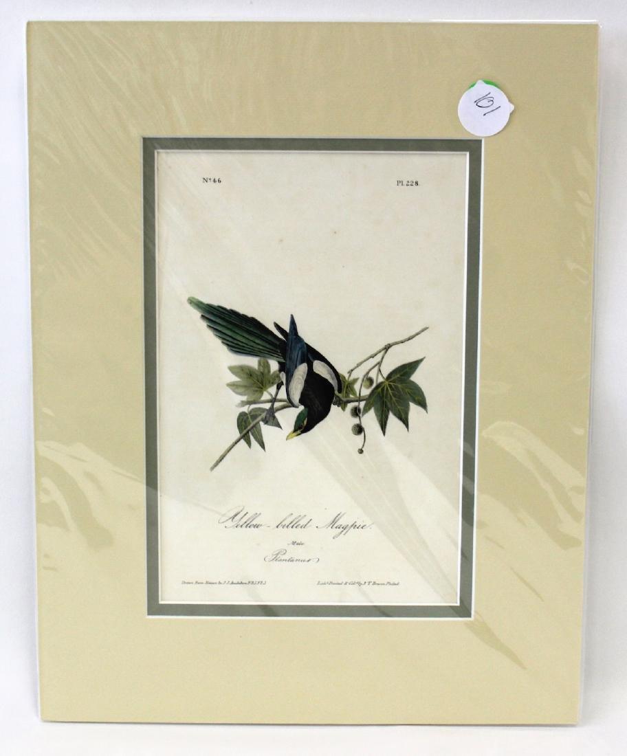 Audubon. Yellow Billed Magpie No.228