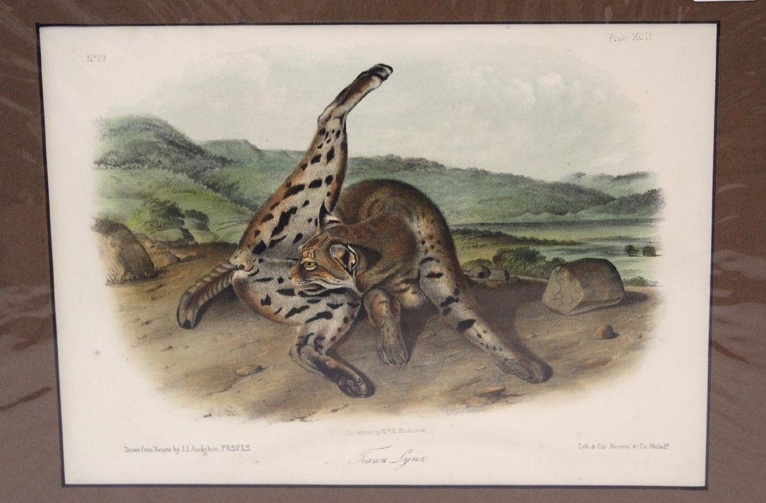 J.J Audubon First ed. Aquatint Texan Lynx