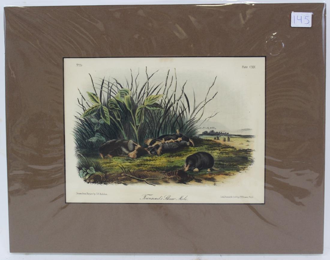 J.J. Audubon. Octavo. Townsend's Shrew Mole.