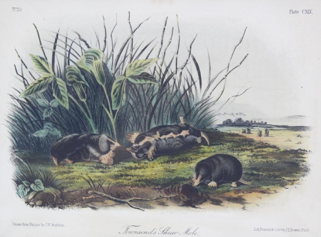J.J. Audubon. Octavo. Townsend's Shrew Mole. - 2