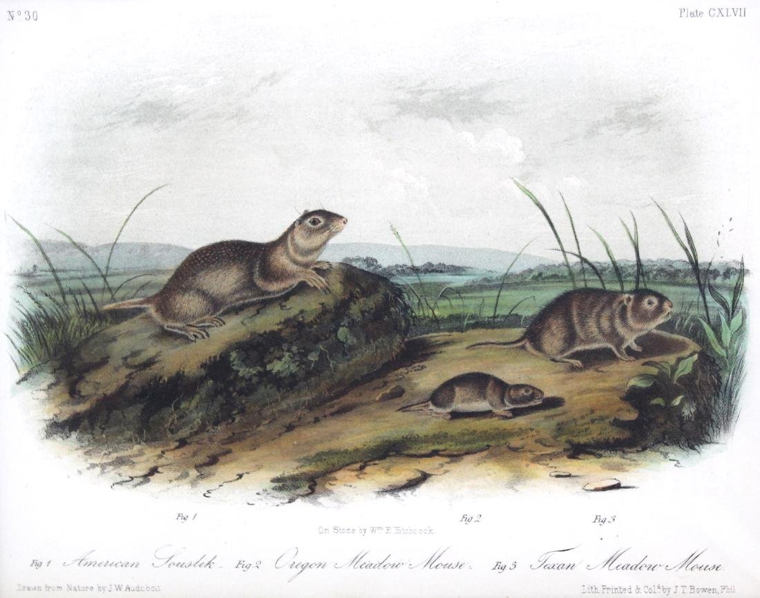 J.J. Audubon. Octavo. American Souslik or Meadow - 2