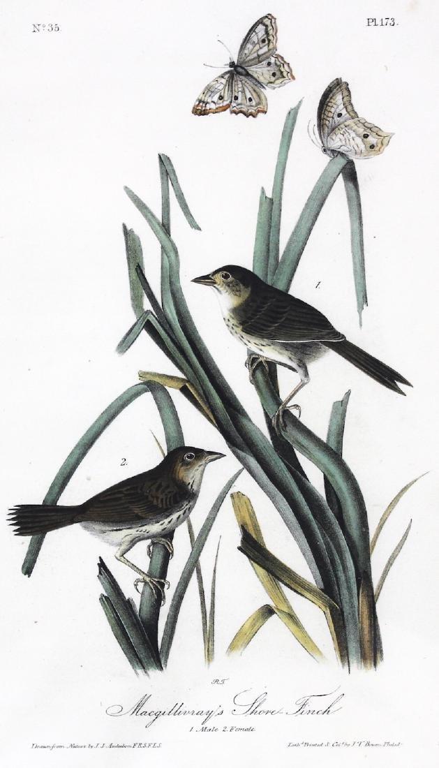 J.J. Audubon. Octavo. Macgillivrays Shore Finch - 2