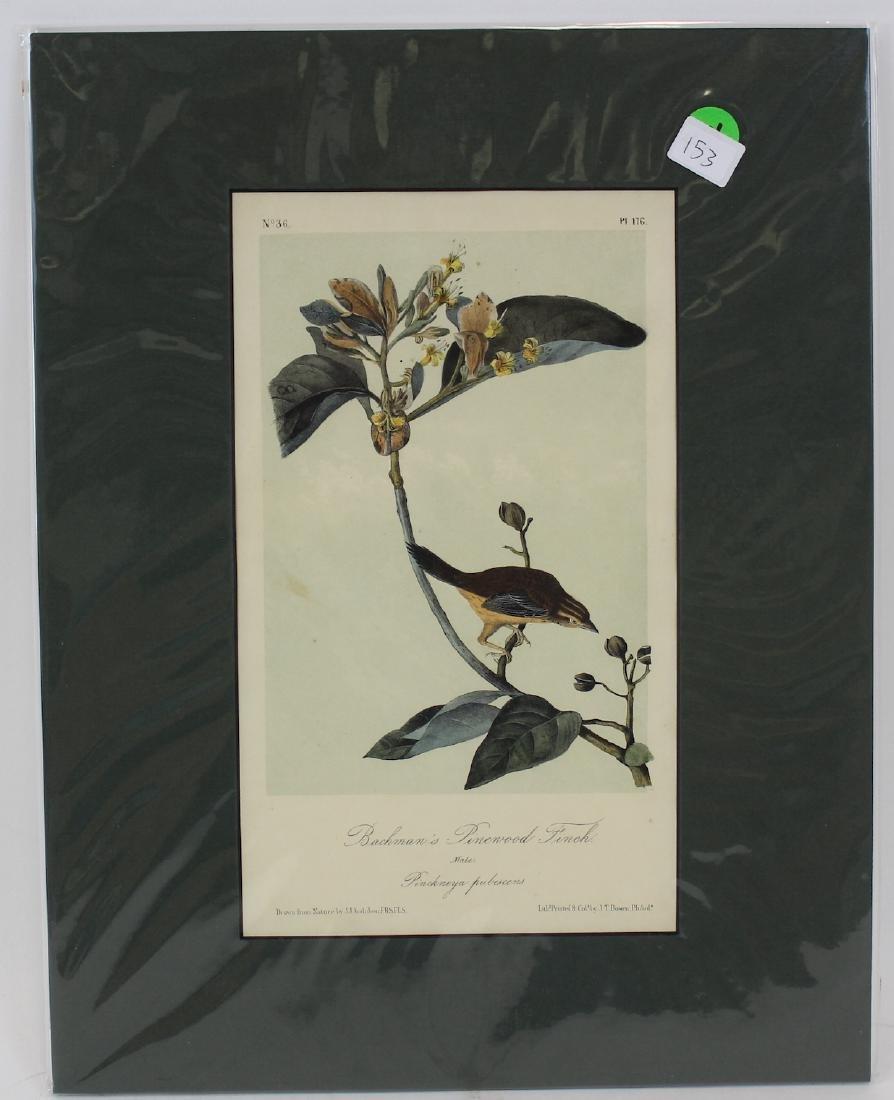 J.J. Audubon. Octavo. Bachman's Pinewood Finch
