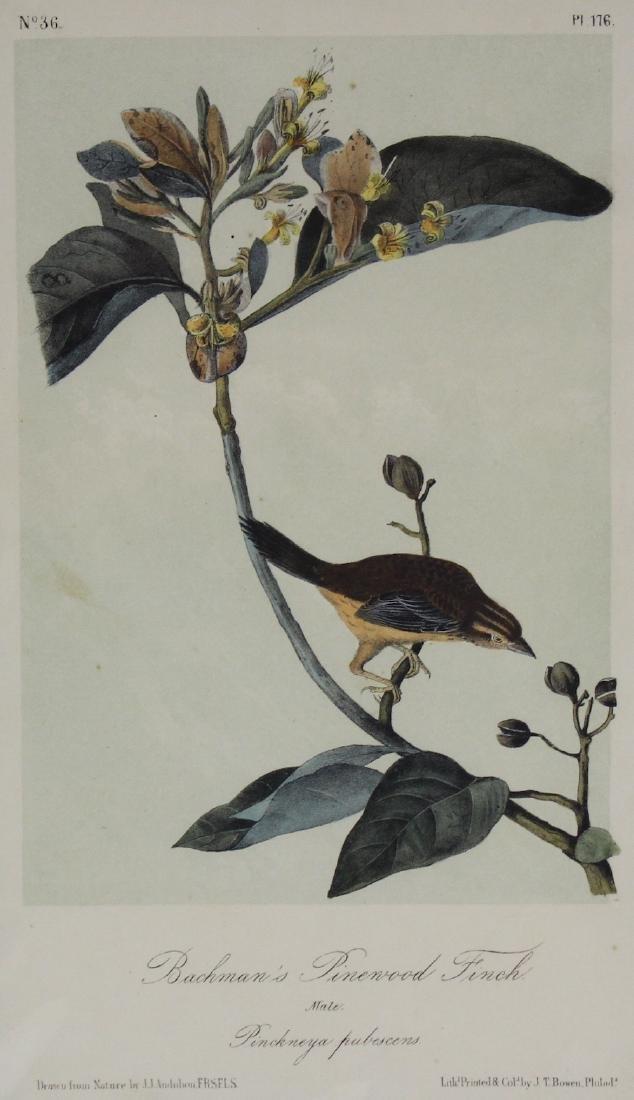 J.J. Audubon. Octavo. Bachman's Pinewood Finch - 2