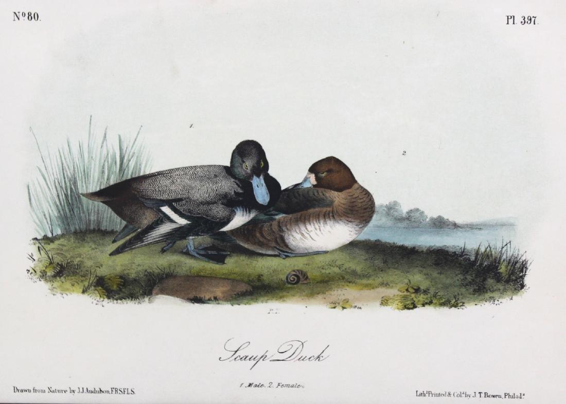 J.J. Audubon. Octavo. Swamp Duck - 2