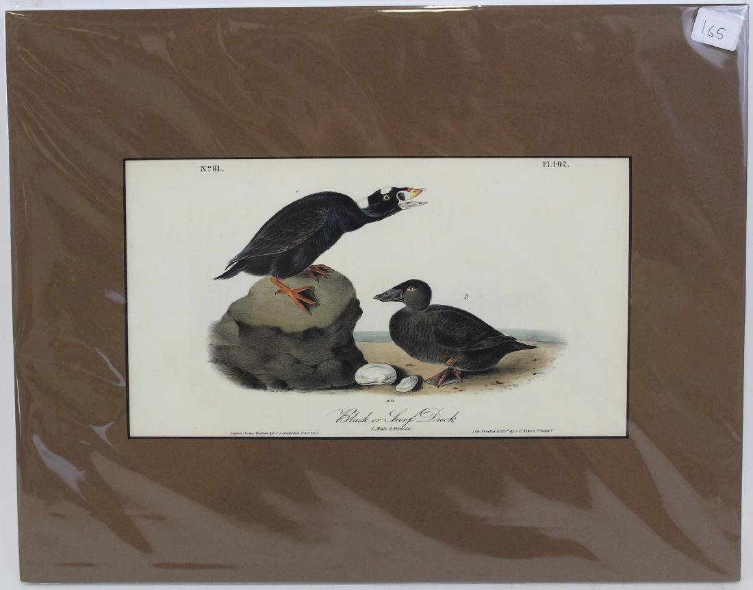 J.J. Audubon. Octavo. Black or Surf Duck