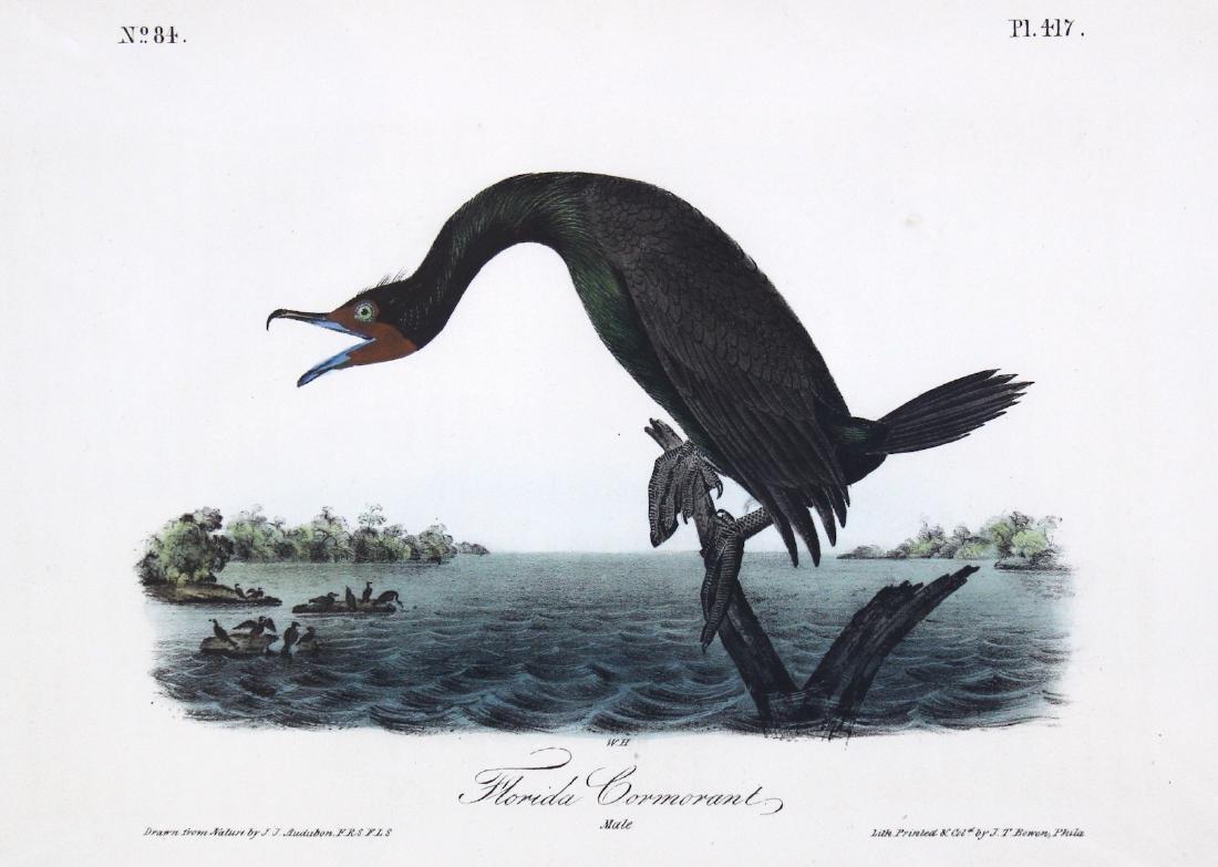J.J. Audubon. Octavo. Florida Cormorant - 2