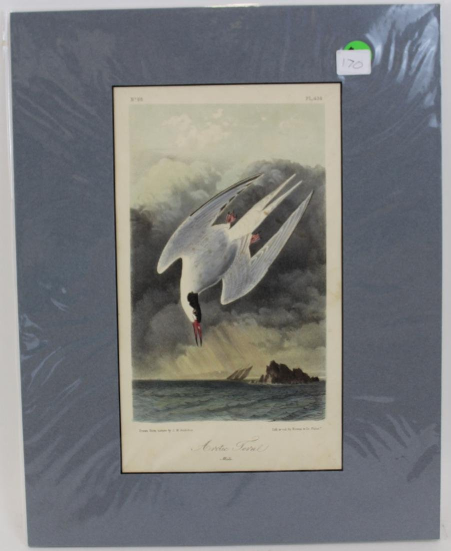 J.J. Audubon. Octavo. Arctic Tern