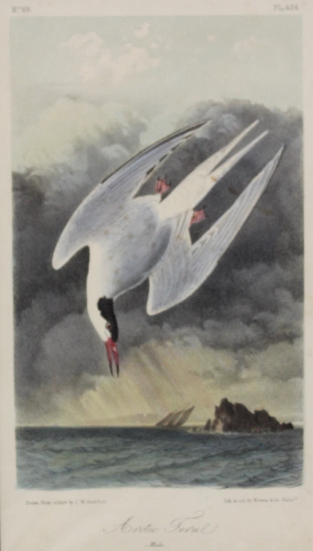 J.J. Audubon. Octavo. Arctic Tern - 2