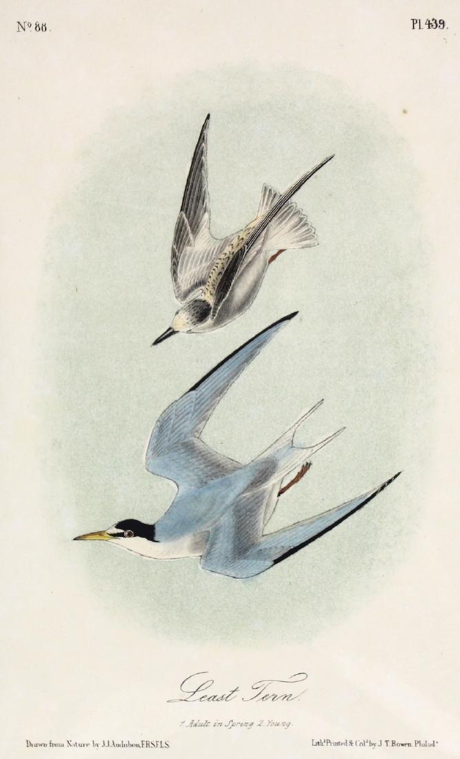 J.J. Audubon. Octavo. Least Tern - 2