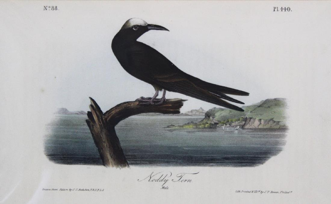 J.J. Audubon. Octavo. Noddy Tern - 2