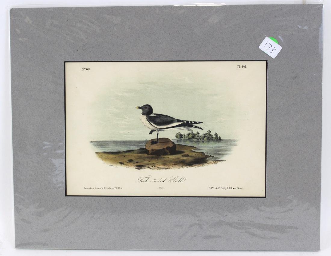 J.J. Audubon. Octavo. Fork- Tailed Gull