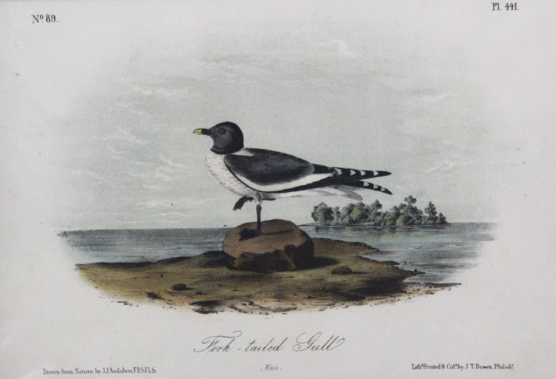 J.J. Audubon. Octavo. Fork- Tailed Gull - 2
