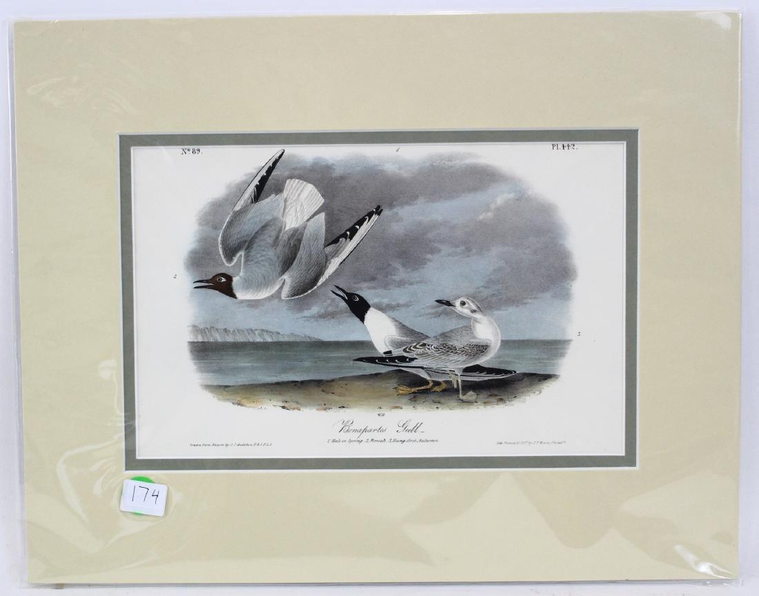 J.J. Audubon. Octavo. Bonapartes Gull