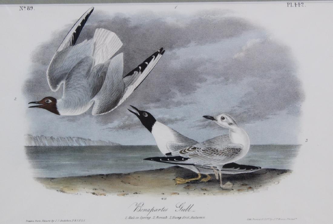J.J. Audubon. Octavo. Bonapartes Gull - 2