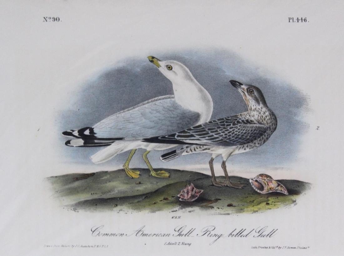 J.J. Audubon. Octavo. Common American Gull Ring-Billed - 2
