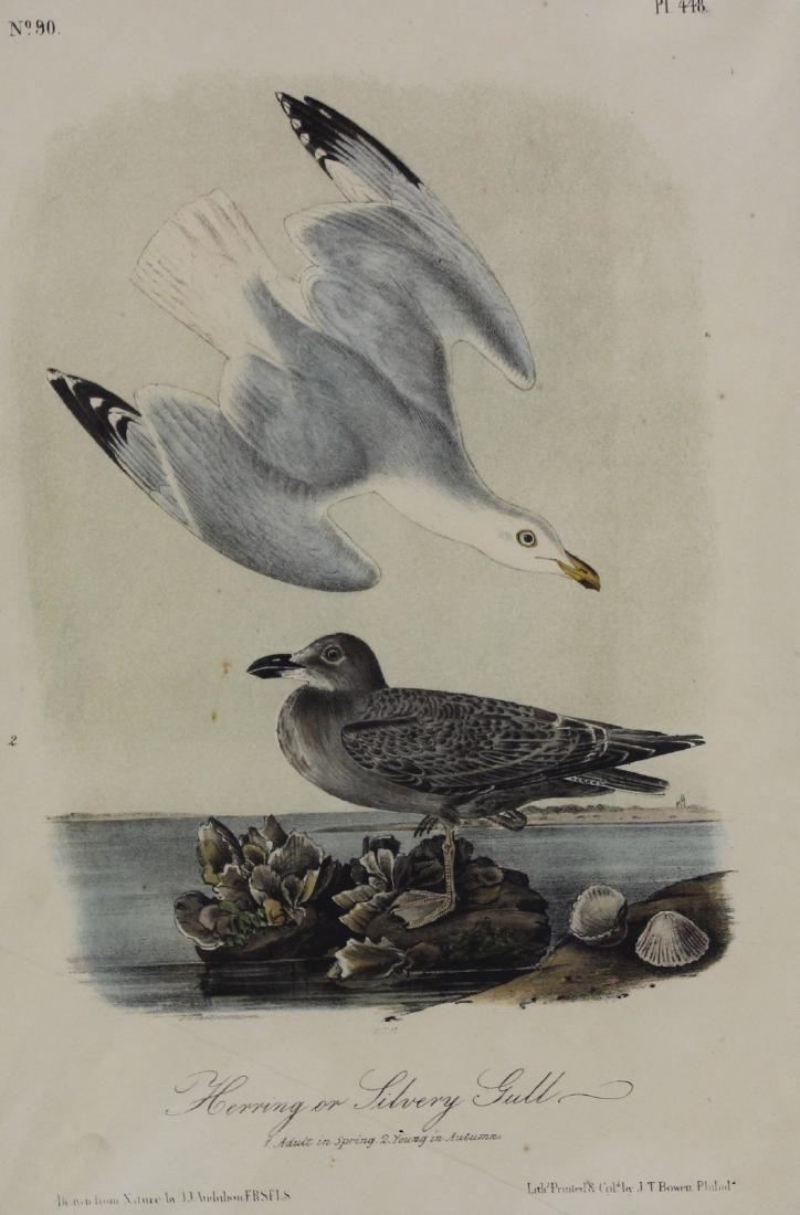 J.J. Audubon. Octavo. Herring or Silvery Gull - 2