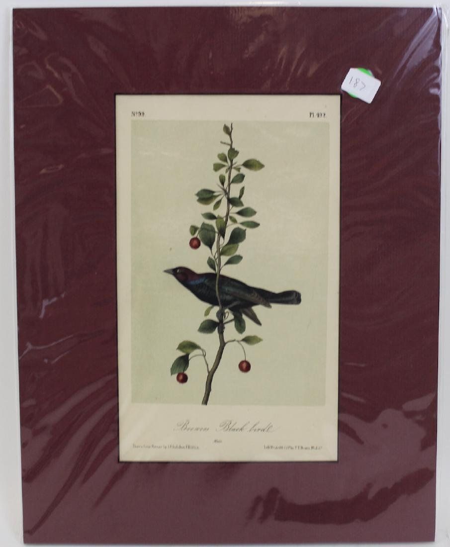 J.J. Audubon. Octavo. Brewers Blackbird