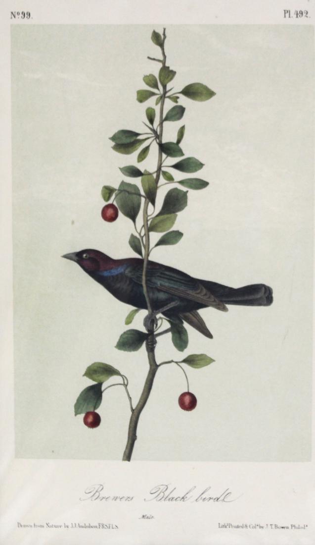 J.J. Audubon. Octavo. Brewers Blackbird - 2