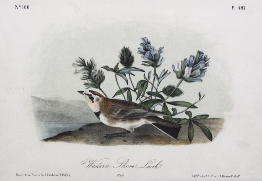J.J. Audubon. Octavo. Western Shore Lark - 2