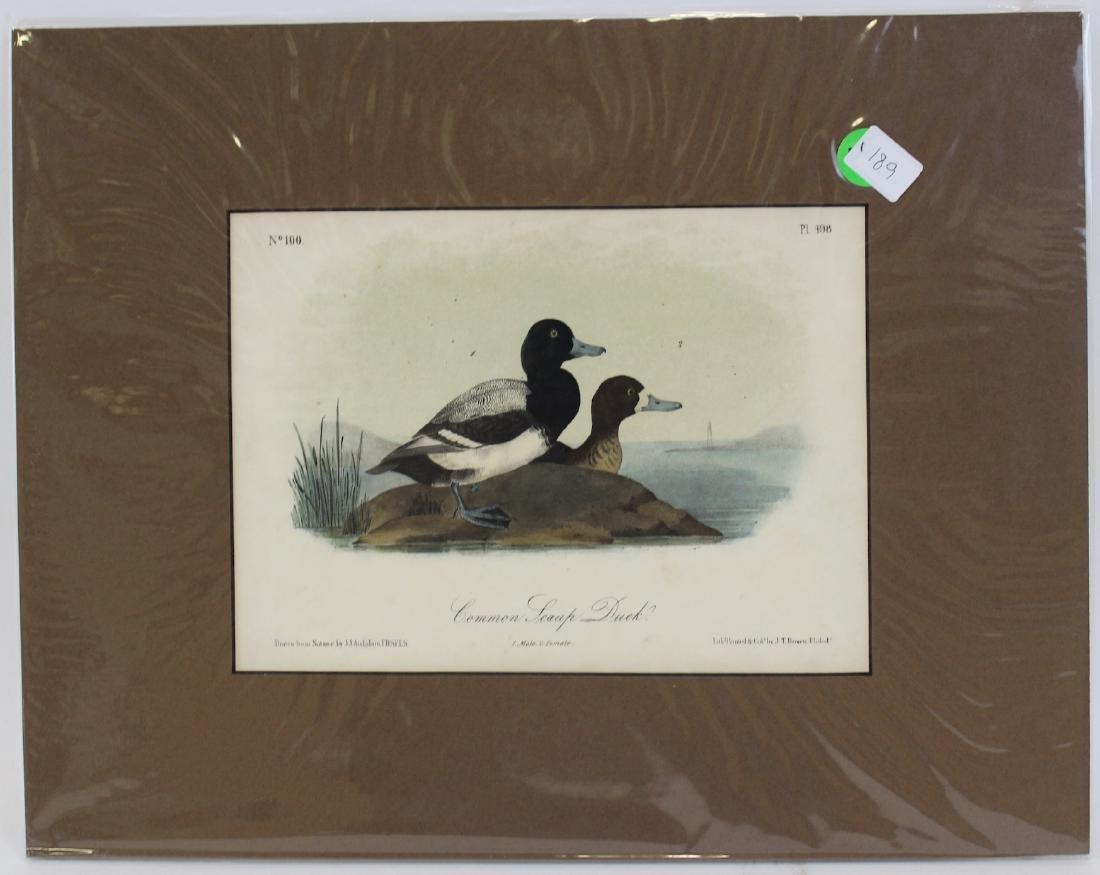 J.J. Audubon. Octavo. Common Swamp Duck