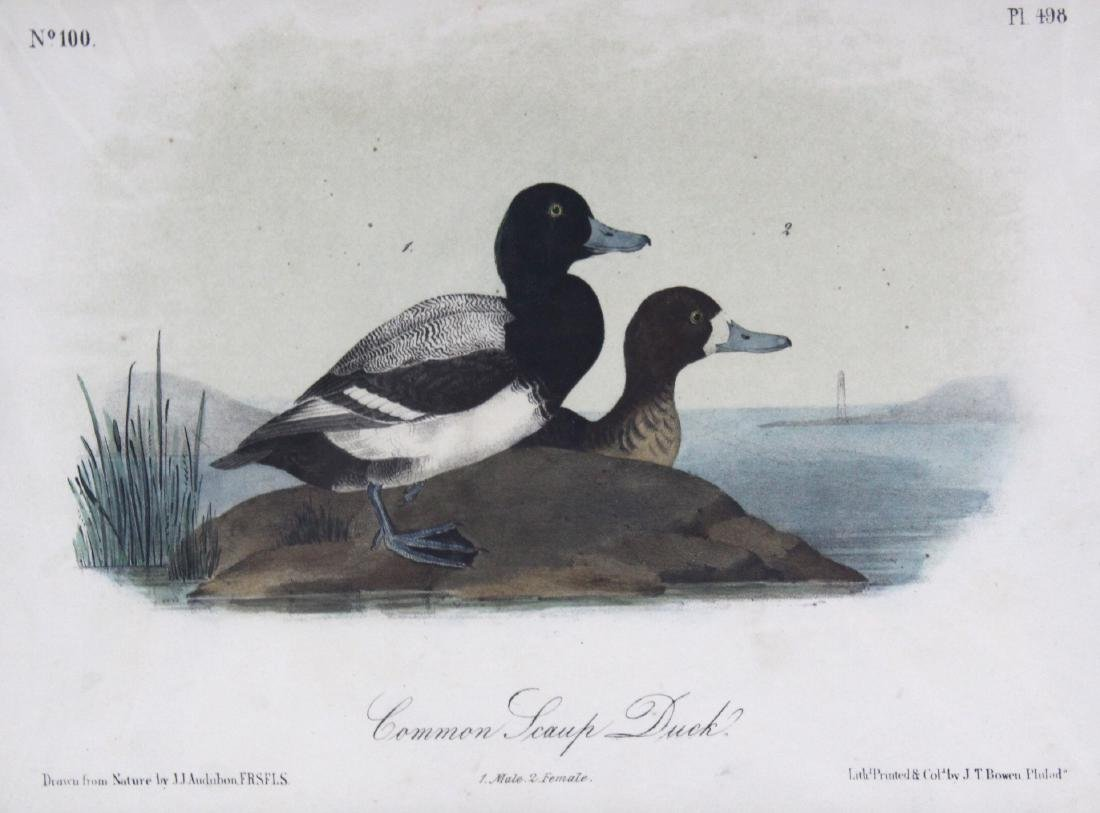 J.J. Audubon. Octavo. Common Swamp Duck - 2