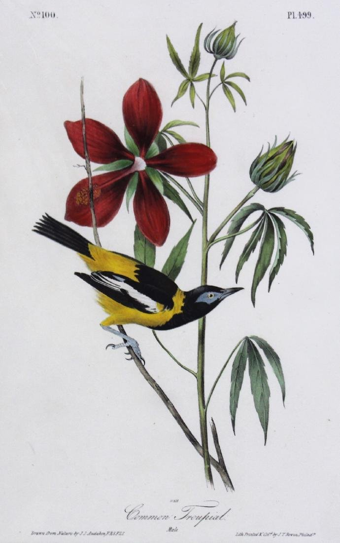 J.J. Audubon. Octavo. Common Troupial - 2