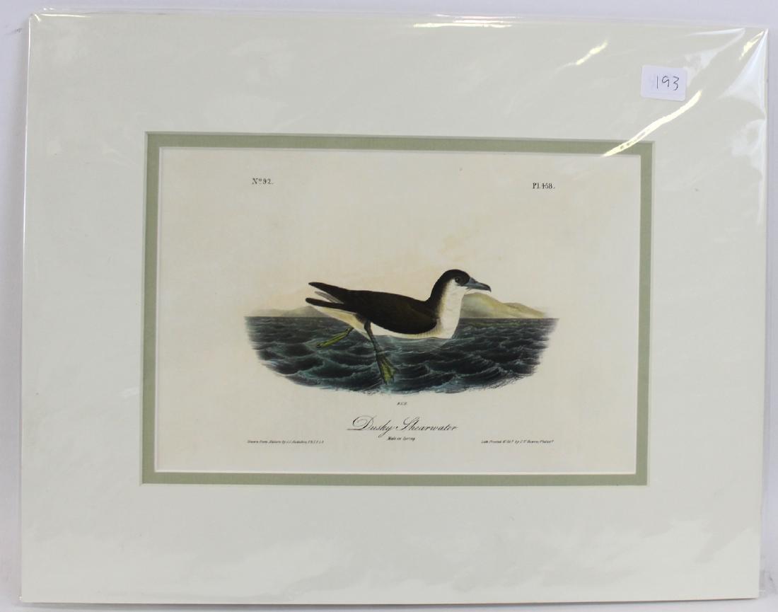 J.J. Audubon. Octavo. Dusky Shearwater