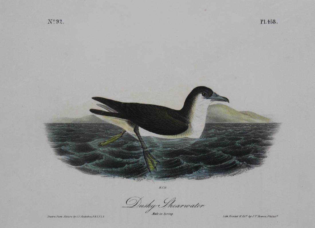 J.J. Audubon. Octavo. Dusky Shearwater - 2