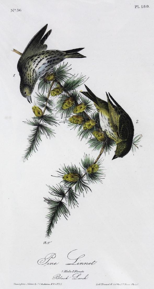 J.J. Audubon. Octavo. Pine Linnet - 2