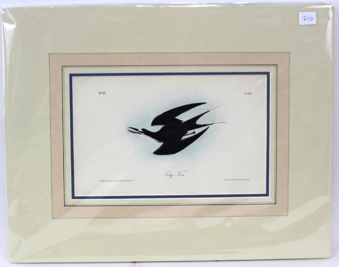 J.J. Audubon. Octavo. Sooty Tern
