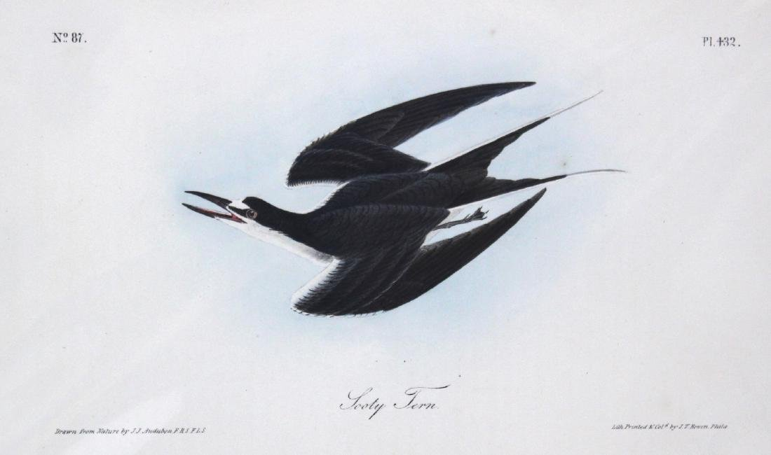J.J. Audubon. Octavo. Sooty Tern - 2
