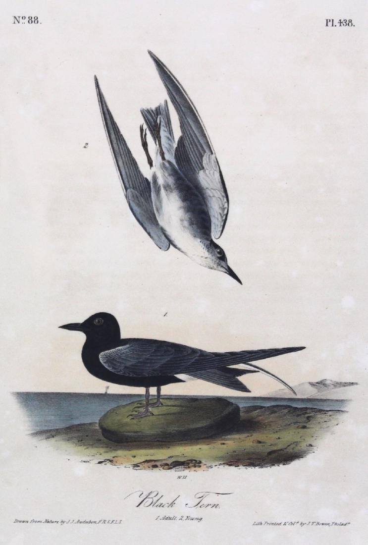 J.J. Audubon. Octavo. Black Tern - 2