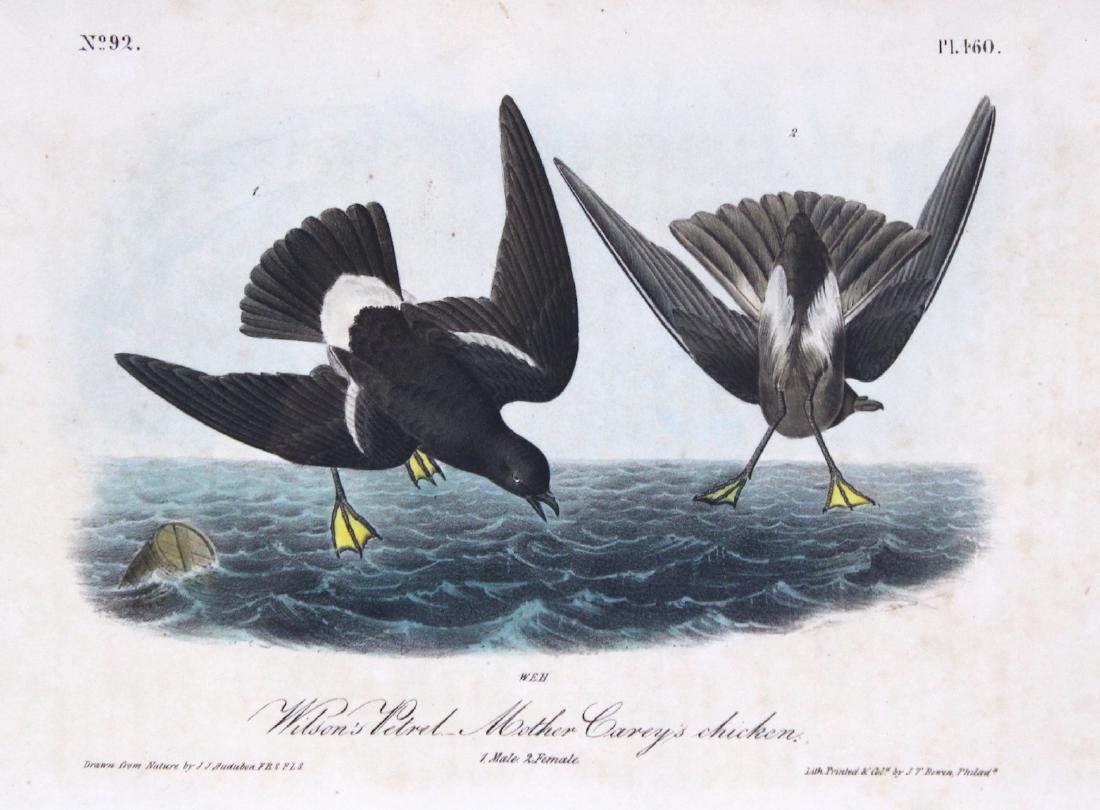 J.J. Audubon. Octavo. Wils Petrel/Mother Carey Chicken - 2