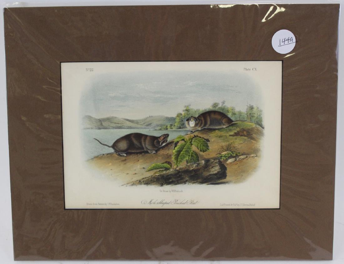 J.J. Audubon. Octavo. Mole-Shaped Pouched Rat.