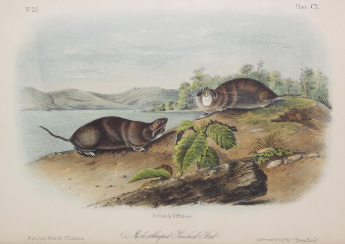 J.J. Audubon. Octavo. Mole-Shaped Pouched Rat. - 2